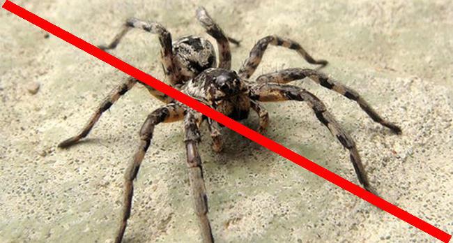 Как избавиться от пауков? насекомые