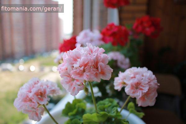 Крапчатая пеларгония - величина и количество крапинок зависит от освещения при котором растёт растение: больше света - больше и насыщеннее крапинки.