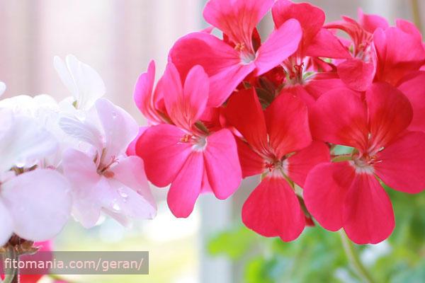 Не злоупотребляйте удобрениями, если герань растёт дома.