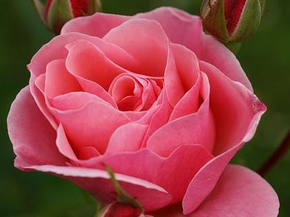 Роза чайная полезные свойства